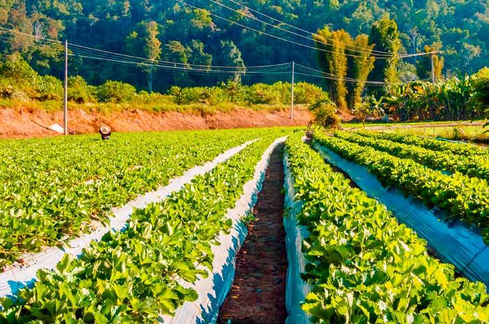 Cultivo de biocombustibles de segunda generación
