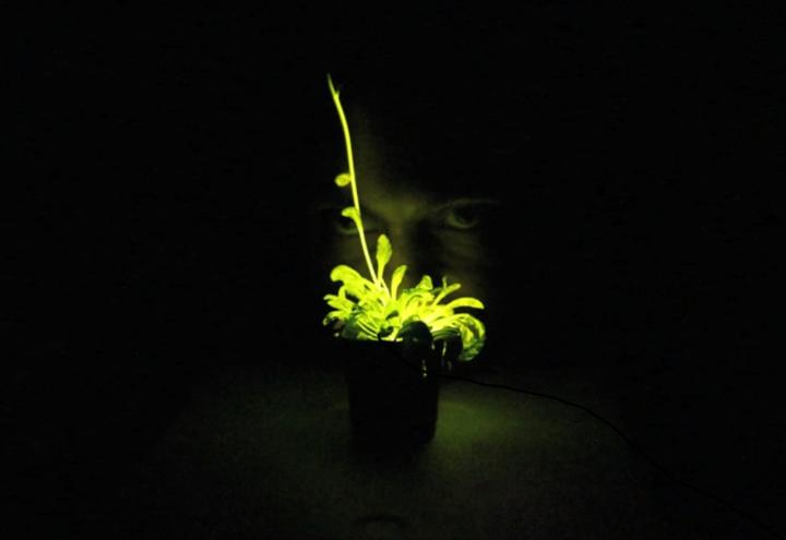 Planta Bioluminiscente