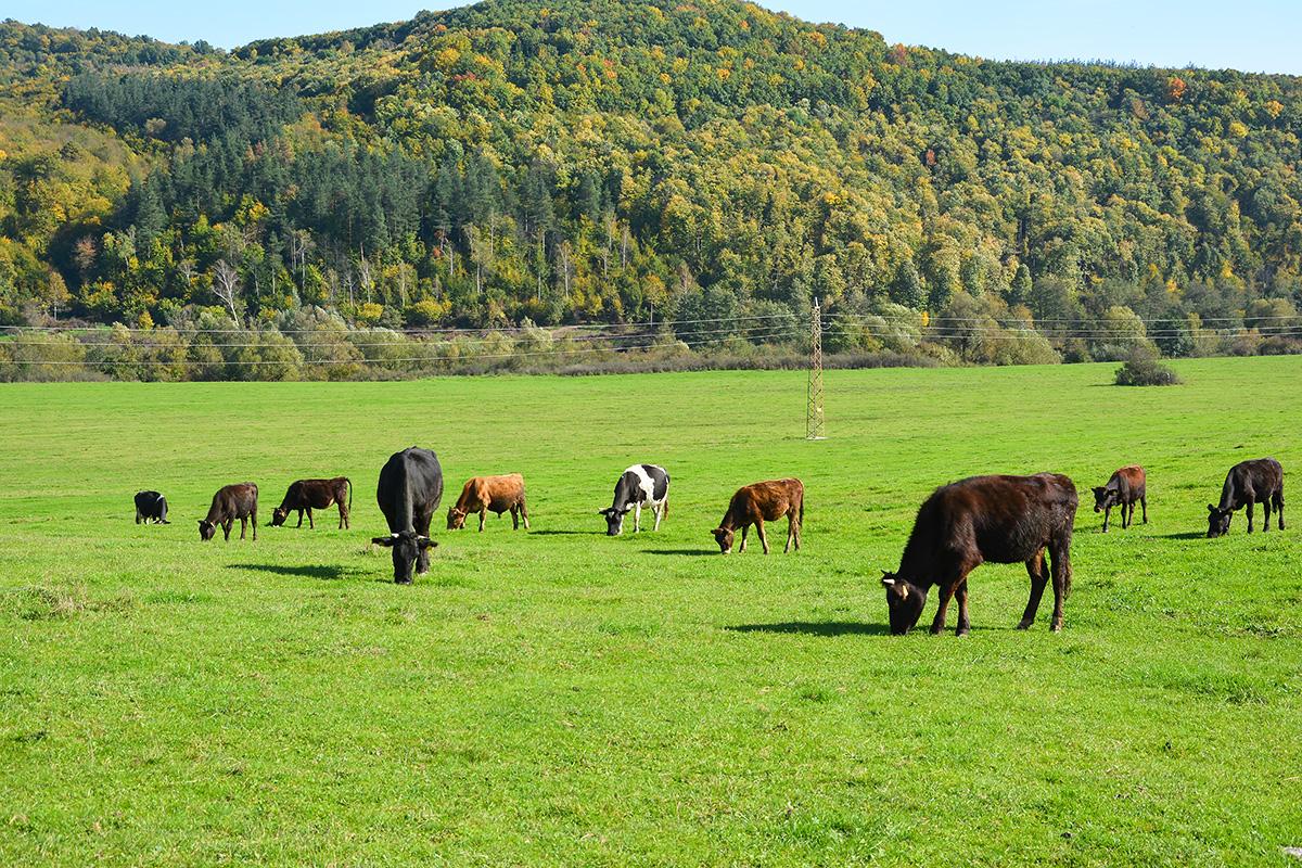Vacas en el campo. Agricultura con etiqueta ecológica