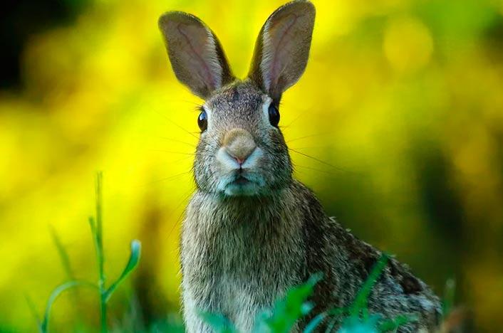 Conejo en naturaleza