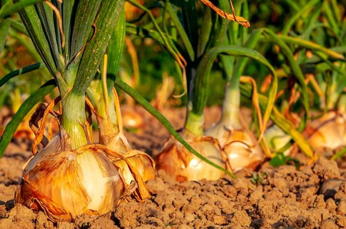 Cebollas, ideales para plantar de otoño a invierno