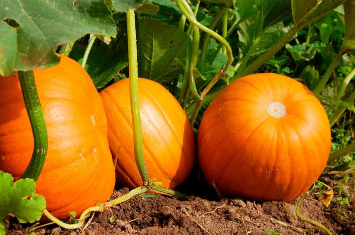 Plantación de calabazas según calendario de siembra