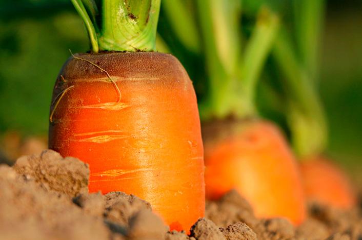 Zanahorias durante todo el año