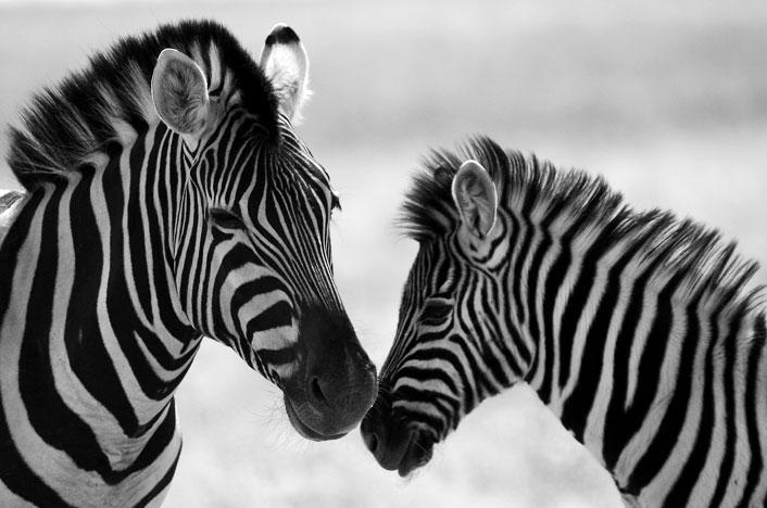 ecología de poblaciones de zebras
