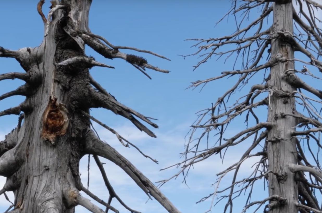 Árboles afectados por la lluvia ácida ¿Qué es?
