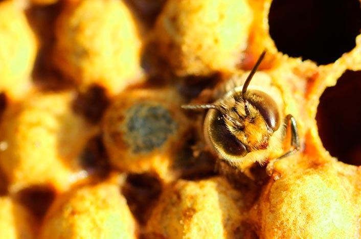 Cera de abejas para hacer protector solar biodegradable