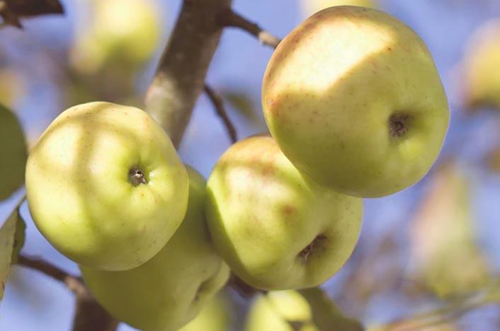 Manzanas en huerto de casa eficiente