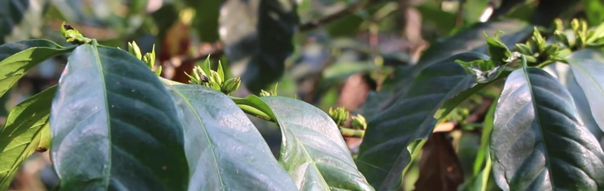 Ruta ecológica por India: café y pimienta