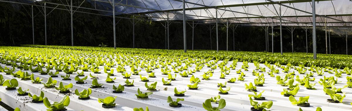 Cultivo-hidropónico