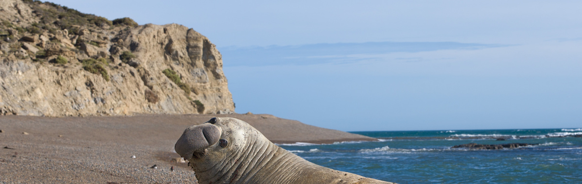 elefante marino del sur Península Valdés