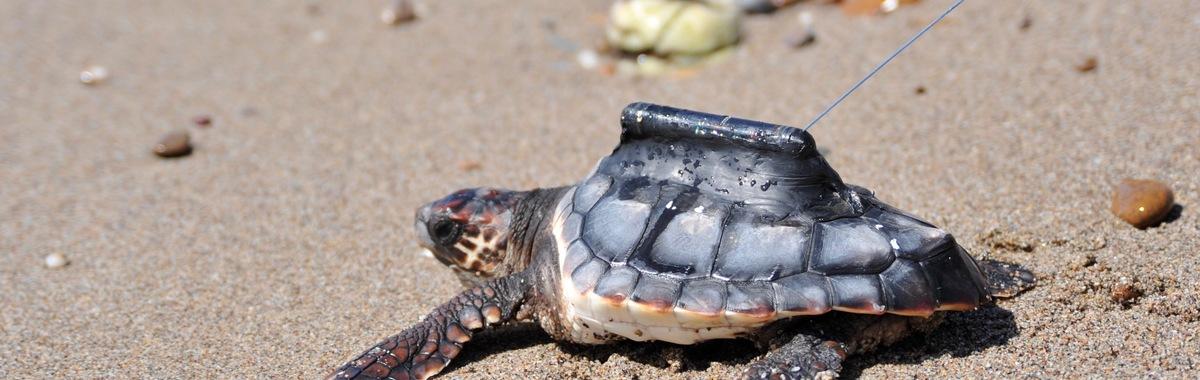 Tortugas bobas en libertad