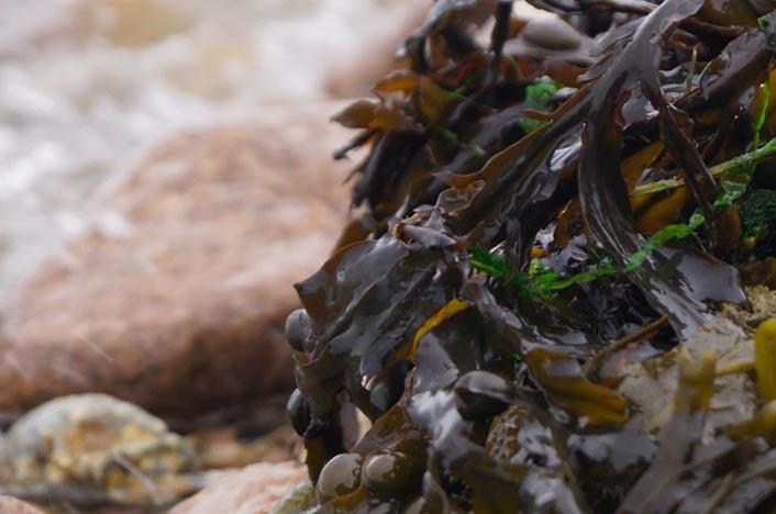 Algas muertas por la oxibenzona