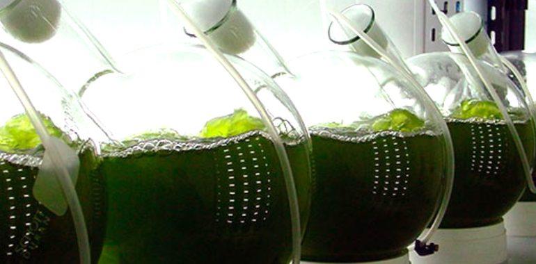 Investigadora Mexicana propone usar microalgas como alternativa a la crisis ambiental