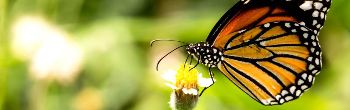 México lucha contra la desaparición de la mariposa Monarca