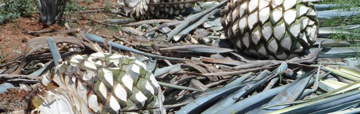 Piña de la planta