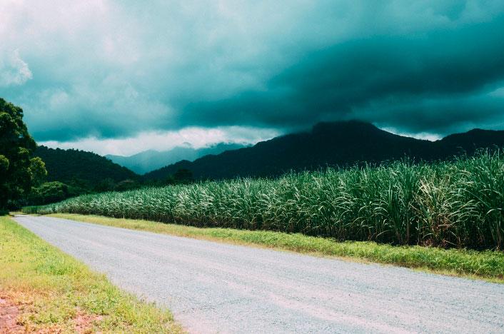 Plantación cañas de azúcar para Biomasa.