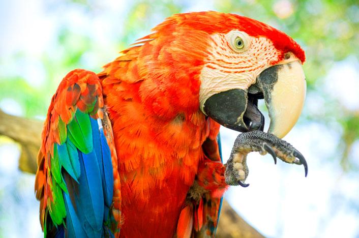 Guacamayo rojo, parte de la biodiversidad colombiana