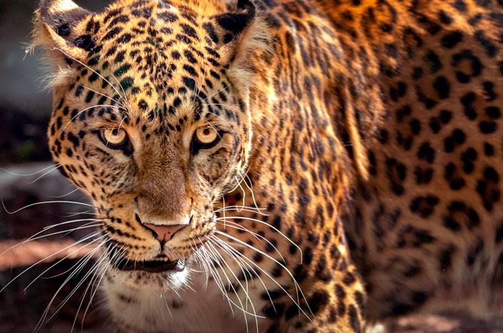 Rostro de jaguar