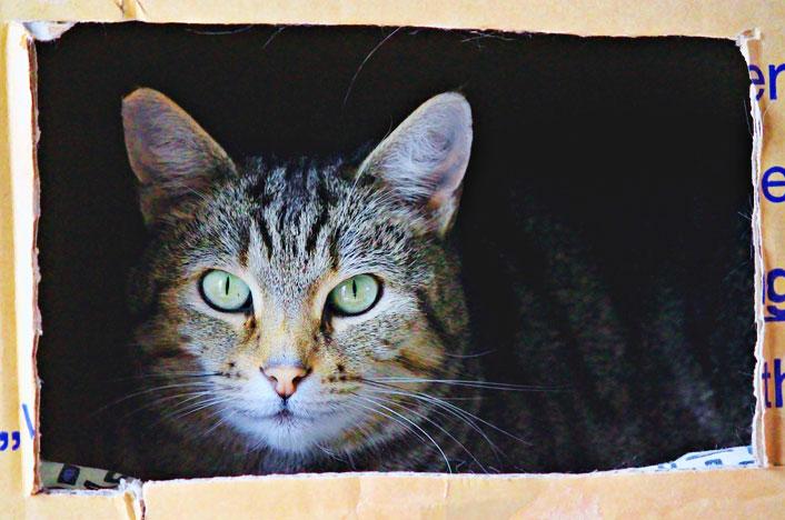 gato en caja de cartón