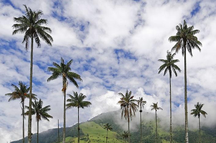 Palmas de Colombia