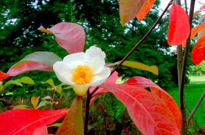 Franklinia, planta extinta de Estados Unidos