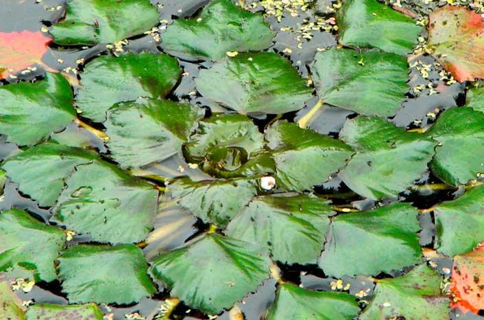 Trapa natans, una de las plantas extintas de tipo acuático