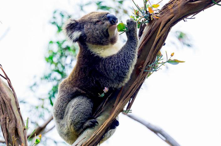 Koalas y sinecología