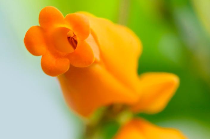Heliconia obscura
